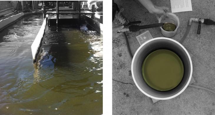 algae collection