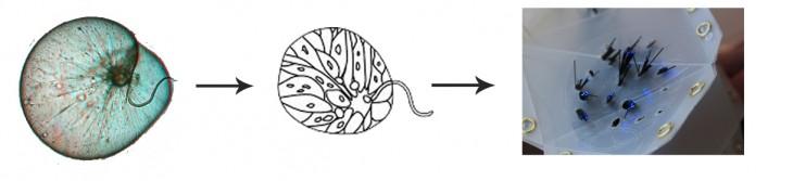 dinoflagellate3